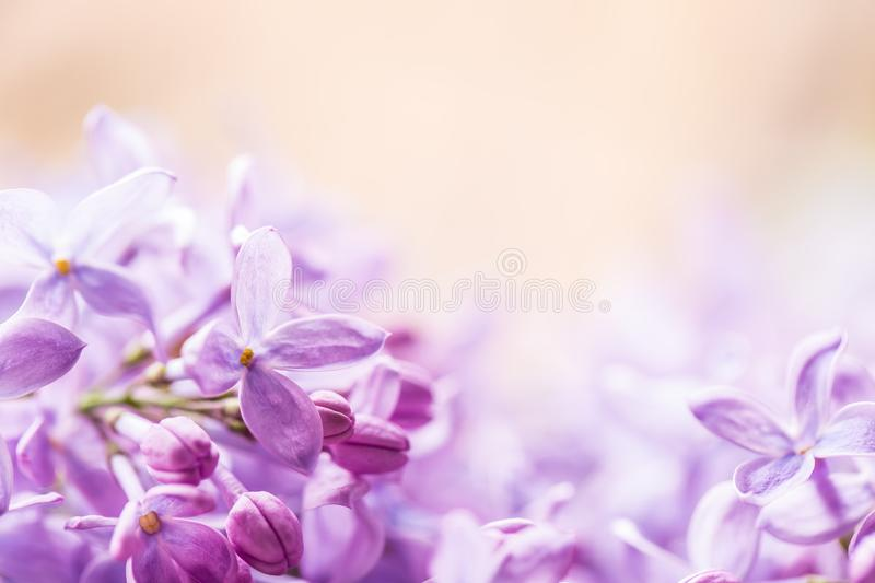 Romantic floral background with purple or violet lilac flowers.  royalty free stock photo