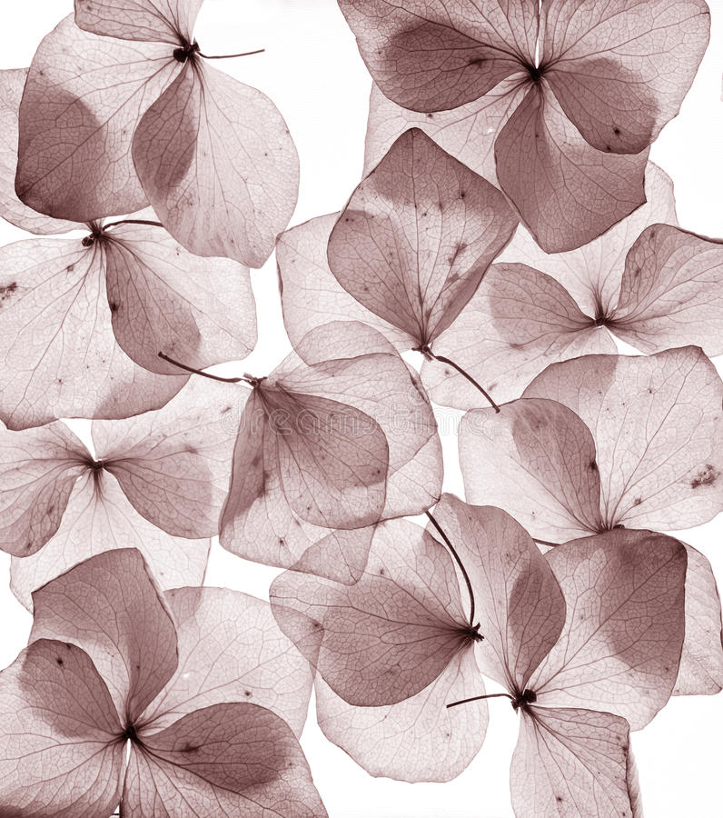 Romantic flower petals close up. Isolated royalty free stock photography