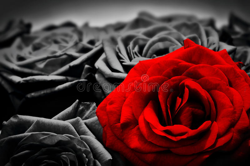 Romantic greeting card of red rose against black and white roses royalty free stock images