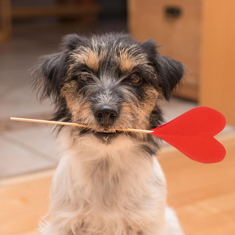 Romantic Jack Russell Terrier dog. Lovable dog is holding a heart to the Valentine`s Day in the mouth. Cute romantic Jack Russell Terrier dog on Valentine stock image