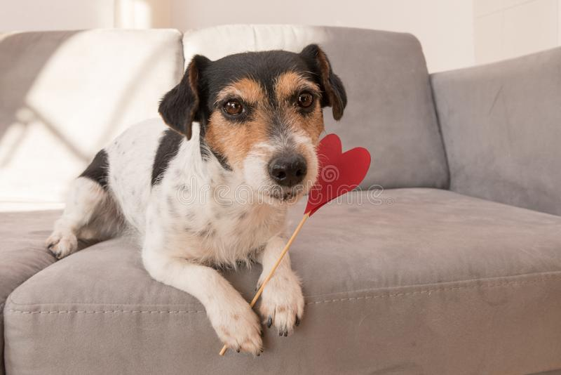 Romantic Jack Russell Terrier dog. Lovable dog is holding a heart to the Valentine`s Day in the mouth. Cute romantic Jack Russell Terrier dog. Lovable dog is stock photos