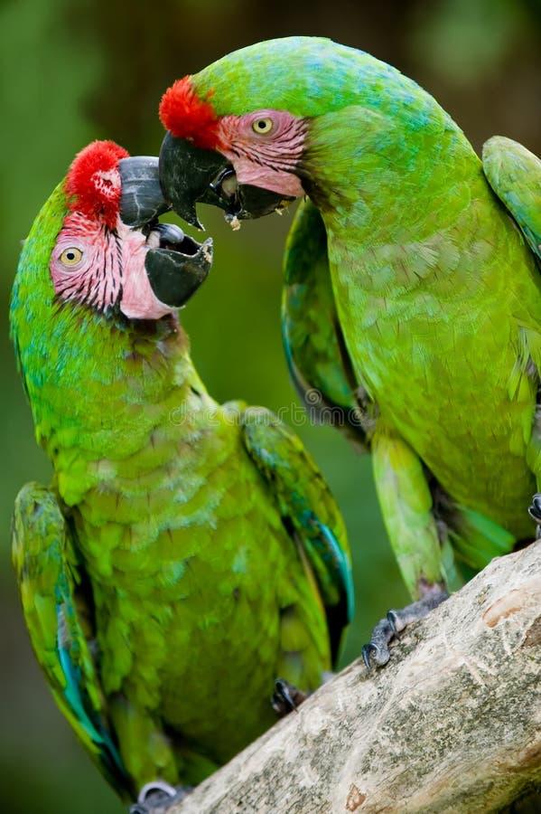 Romantic military macaws stock photos