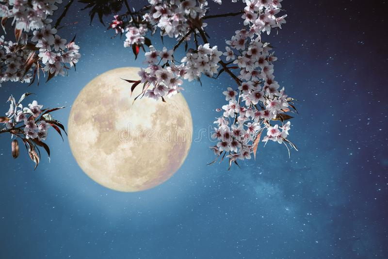 Beautiful cherry blossom sakura flowers in night skies with full moon. Romantic night scene - Beautiful cherry blossom sakura flowers in night skies with full royalty free stock images