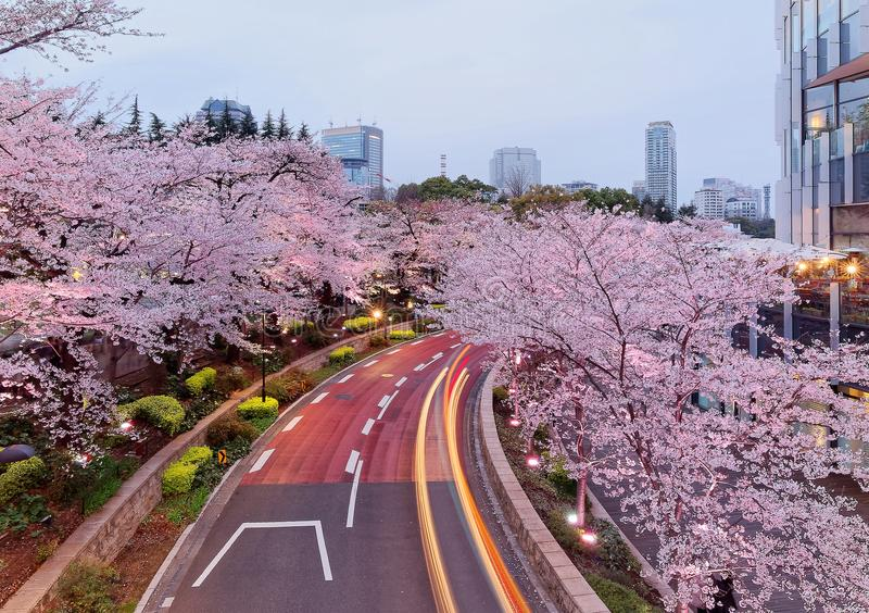 Romantic night scenery of illuminated cherry blossom trees Sakura namiki in Tokyo Midtown, Roppongi, with traffic trails on th. E street and high rise buildings royalty free stock image