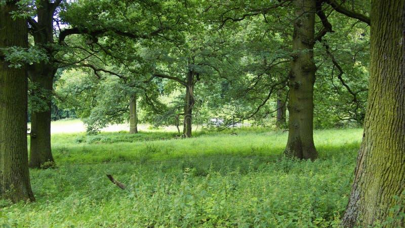 Romantic Oak Forest Royalty Free Stock Photos