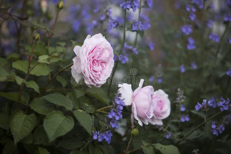 Romantic Pale Pink Rose with purple catmint flowers. Pale pink garden roses with purple catmint flowers planted alongside royalty free stock image
