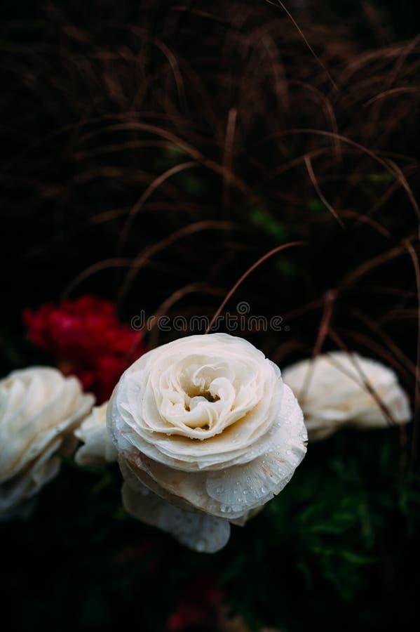 Romantic photograph of Ranunculus flower rain drops royalty free stock images