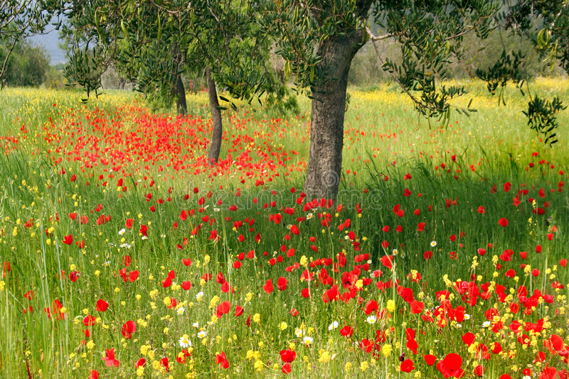 Download Romantic poppy field stock photo. Image of refreshing - 2307086