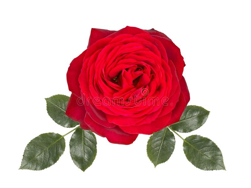 Romantic red rose flower ,isolated on white background. Romantic red rose flower , isolated on white background royalty free stock photography