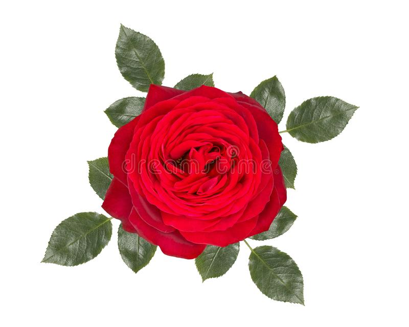 Romantic red rose flower ,isolated on white background. Romantic red rose flower , isolated on white background stock photo