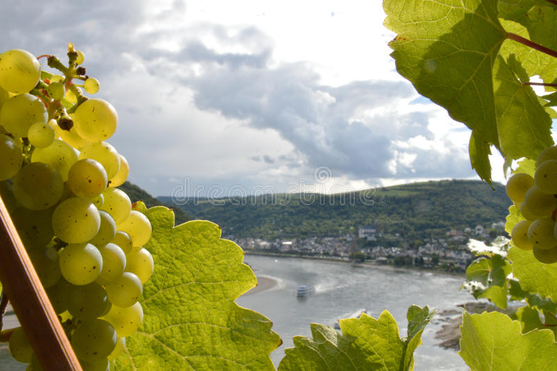 Romantic river rhine. Bacharach, Germany - September 19, 2015: Wine grapes with river rhine near Oberwesel royalty free stock image