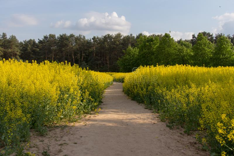 Romantic road to the forest through the field of flowering aromatic rape stock images