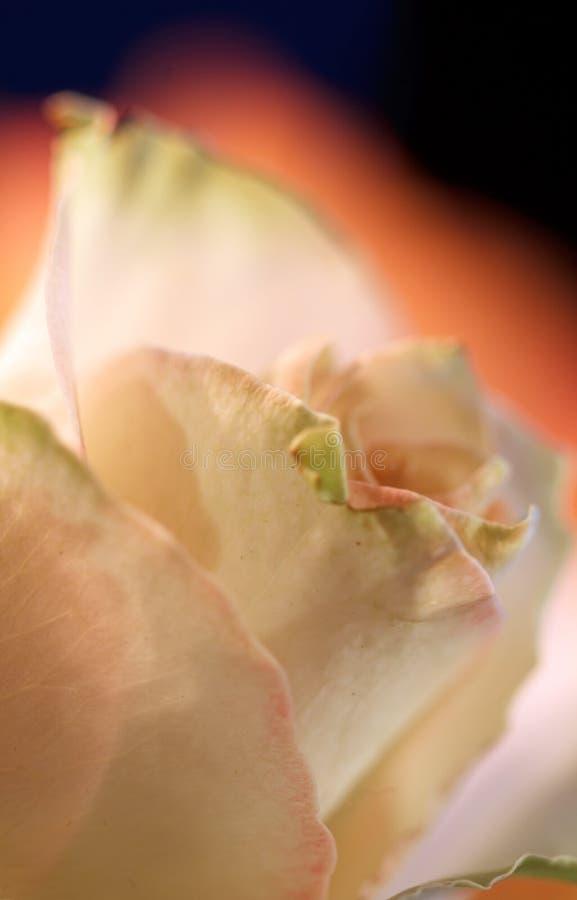 Download Romantic Rose 3 stock photo. Image of dept, romantic - 12092498