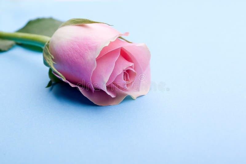 Romantic single pink rose