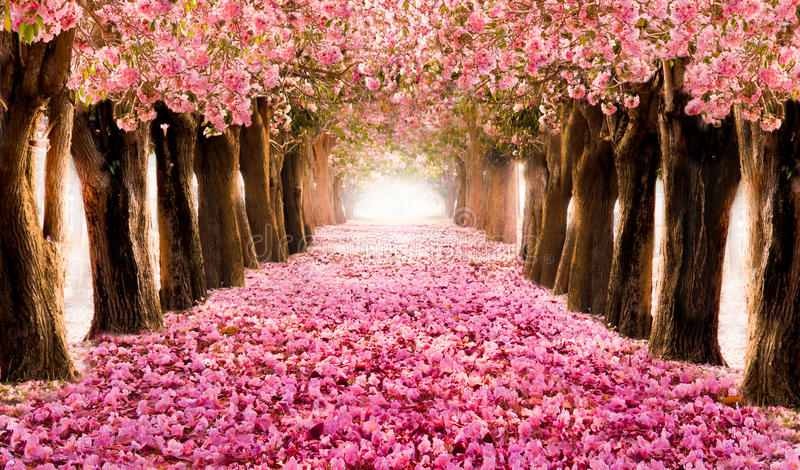 The romantic tunnel of pink flower trees. Falling petal over the romantic tunnel of pink flower trees / Romantic Blossom tree over nature background in Spring stock images