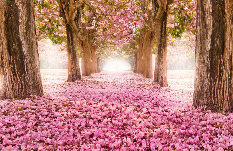 The romantic tunnel of pink flower trees stock image
