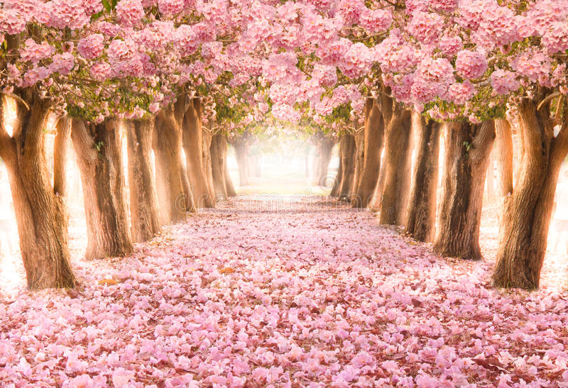 The romantic tunnel of pink flower trees stock photos