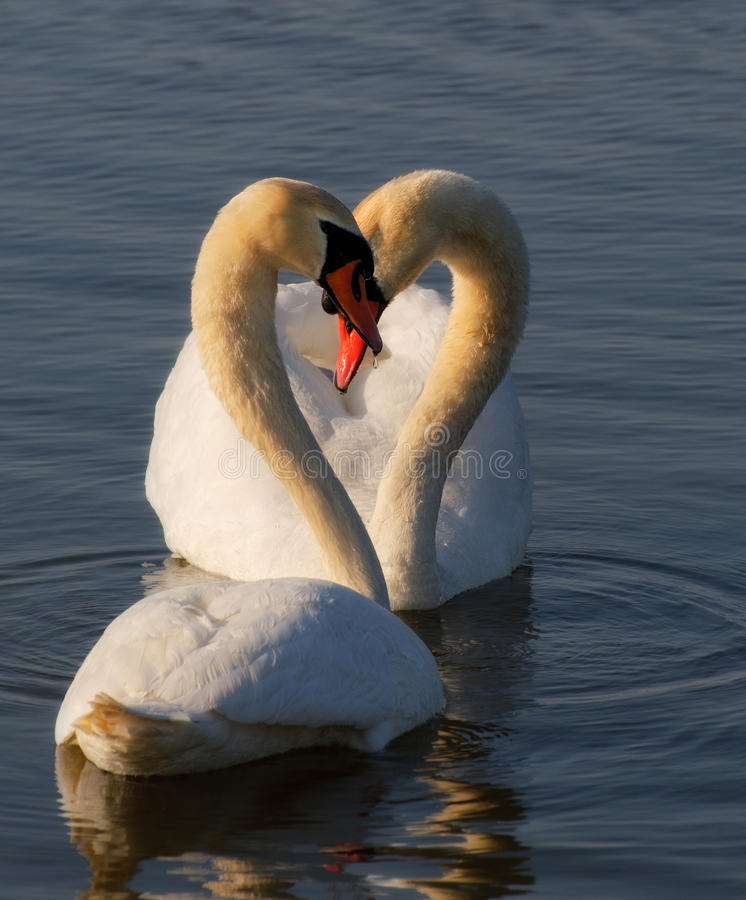 Romantic two swans. Water reflection ob blue background. royalty free stock images