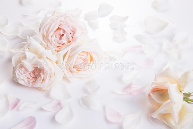 Romantic wedding background.Wedding, valentine, engagement, anniversary theme. Delicate cream, light pink roses and petals on white background. Romantic wedding royalty free stock photos