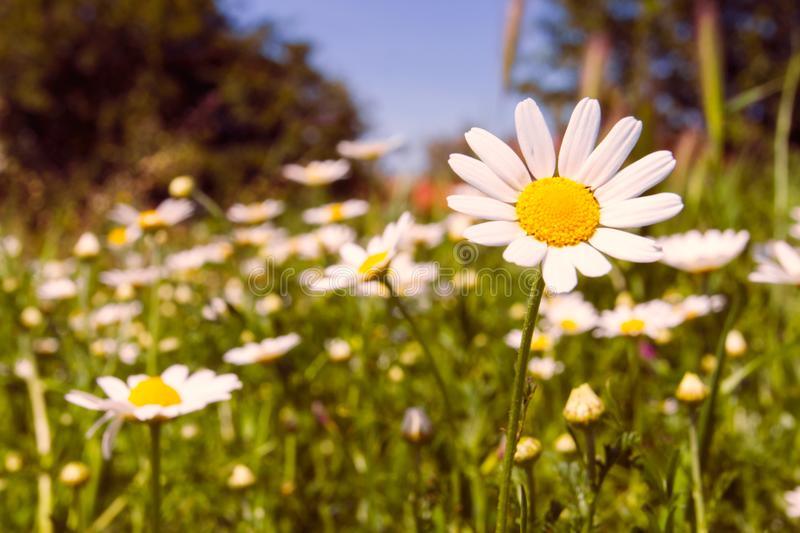 Romantic wild field of daisies with focus on one flower stock photo