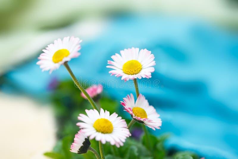 Romantic wild flowers, daisies with focus on one flower. Oxeye daisy, Leucanthemum vulgare, Daisies, Dox-eye, Common daisy, Dog daisy, Moon daisy, Camomile stock images