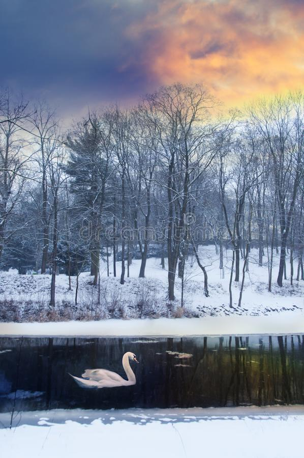 Romantic winter landscape with snow, swam, trees and river in sunset sunrise time royalty free stock image