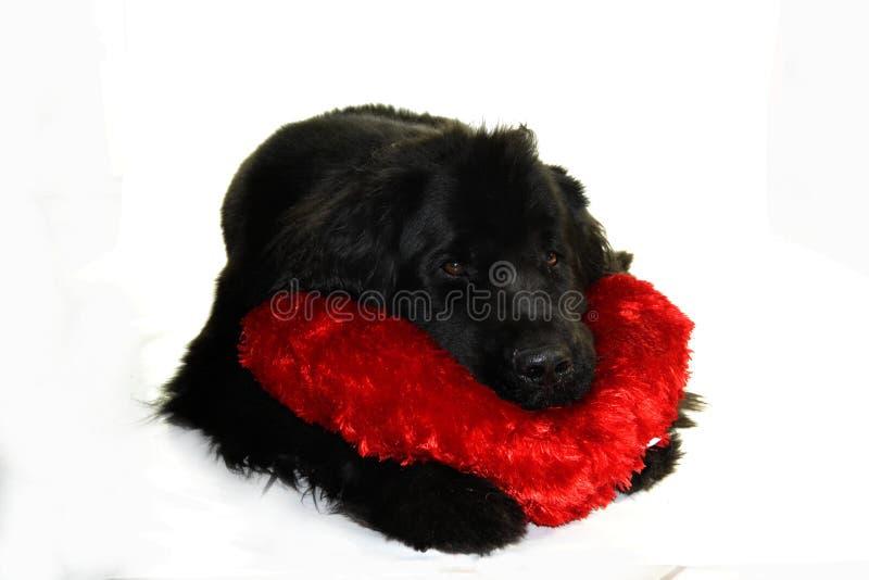 Romantiker för coeur för neuve för Newfounland hundterre arkivfoton