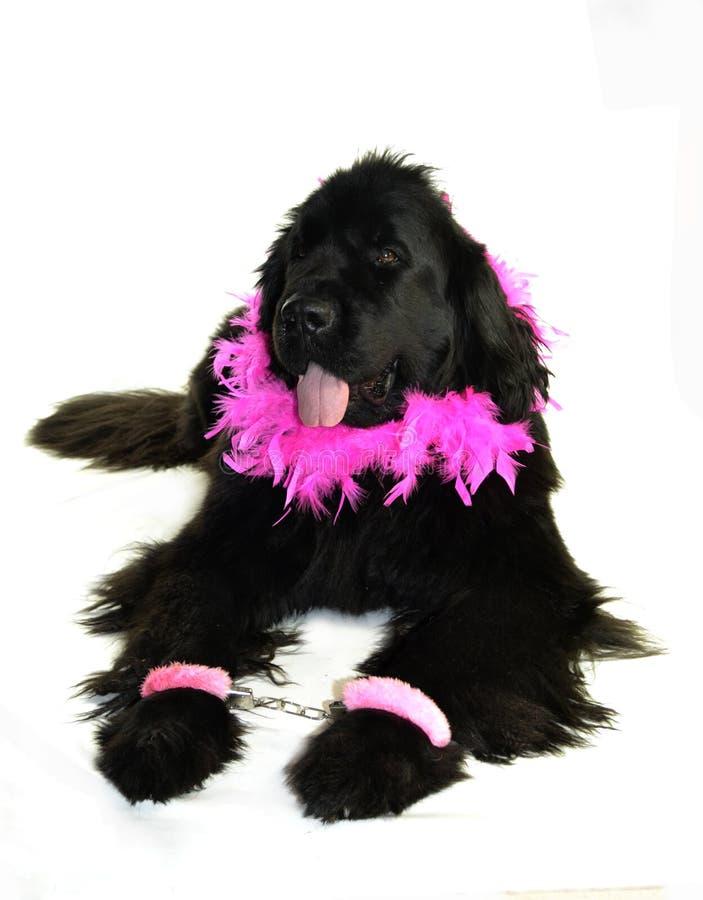 Romantiker för valentin för st för förälskelse för hund för Terre neuvenewfounland royaltyfri bild