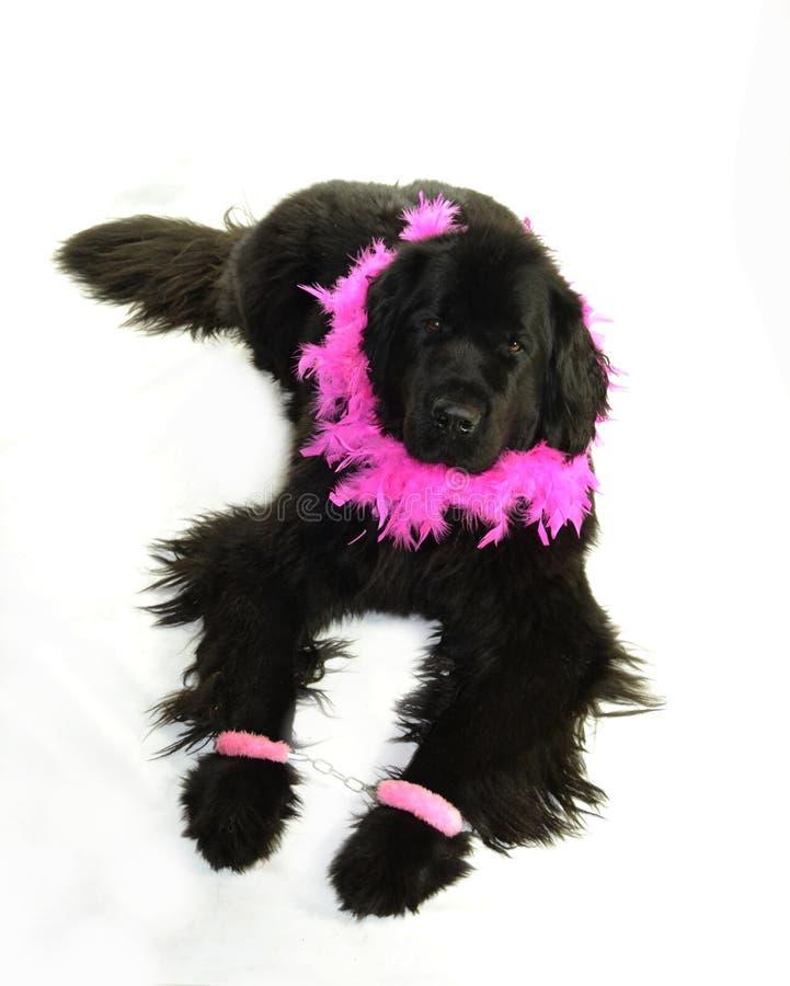 Romantiker för valentin för st för förälskelse för hund för Terre neuvenewfounland fotografering för bildbyråer