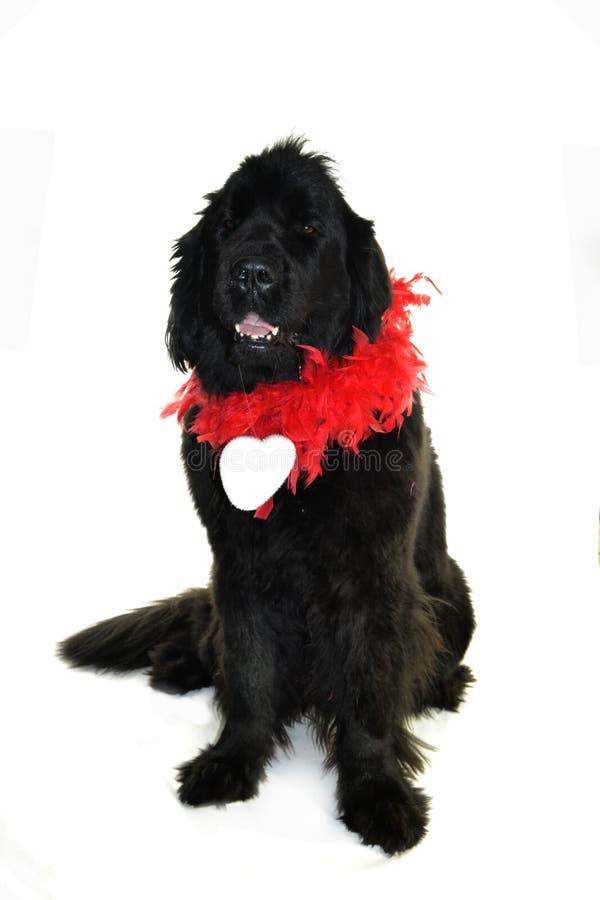 Romantiker för valentin för st för förälskelse för hund för Terre neuvenewfounland arkivbild