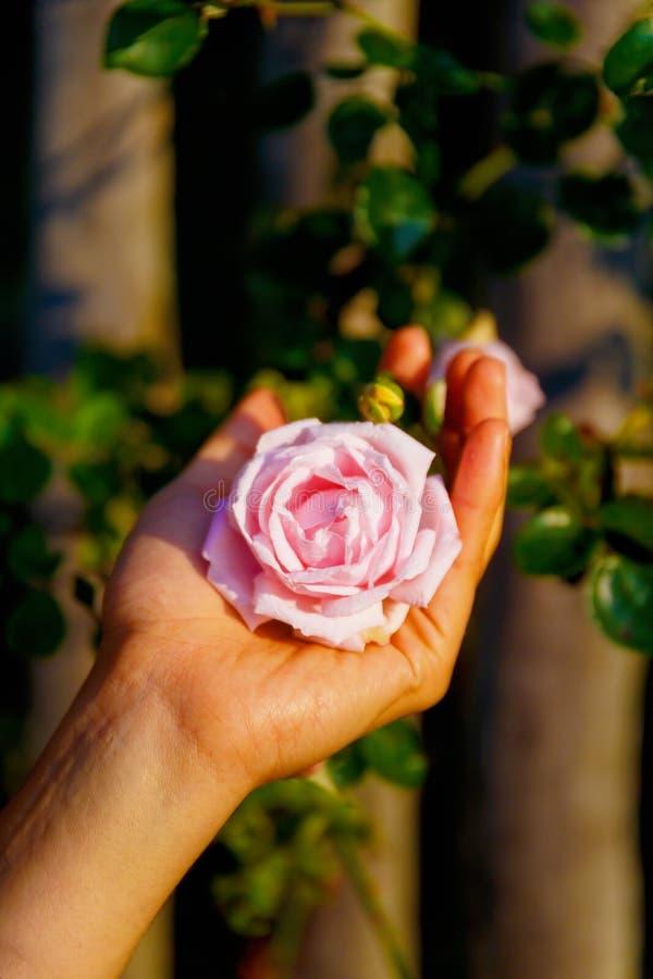 Romantinc桃红色玫瑰在妇女手,在美好的风景的花上 库存图片