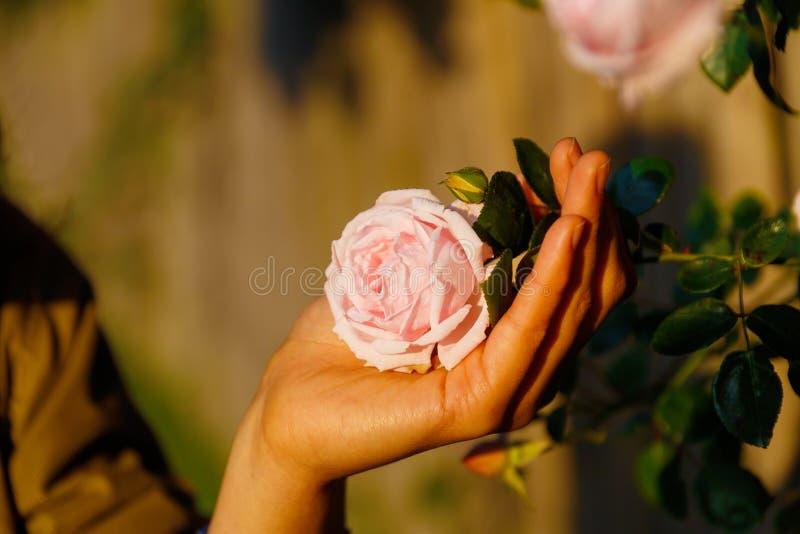 Romantinc桃红色玫瑰在妇女手,在美好的风景的花上 免版税库存图片