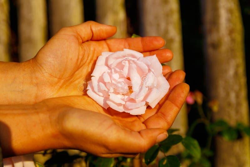 Romantinc桃红色玫瑰在妇女手,在美好的风景的花上 免版税图库摄影