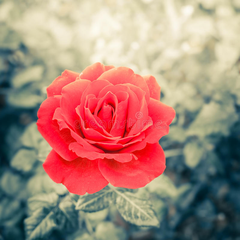 Romantisch nam bloem in de zomertuin toe royalty-vrije stock foto