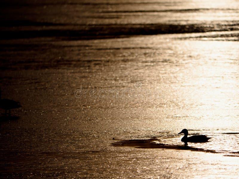 Romantische gang bij bevroren meer, eendenrust op oppervlakte royalty-vrije stock foto's