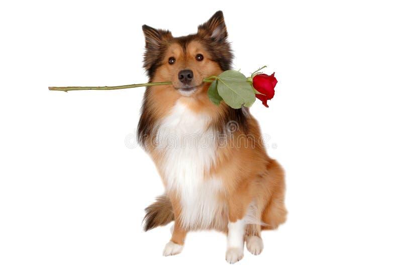 Romantische hond royalty-vrije stock foto's