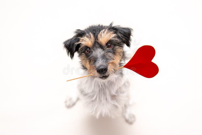 Romantische Hond - Klein leuk Jack Russell Terrier van een hond met een hart als gift voor Valentine in de mond kijkt omhoog beel stock foto