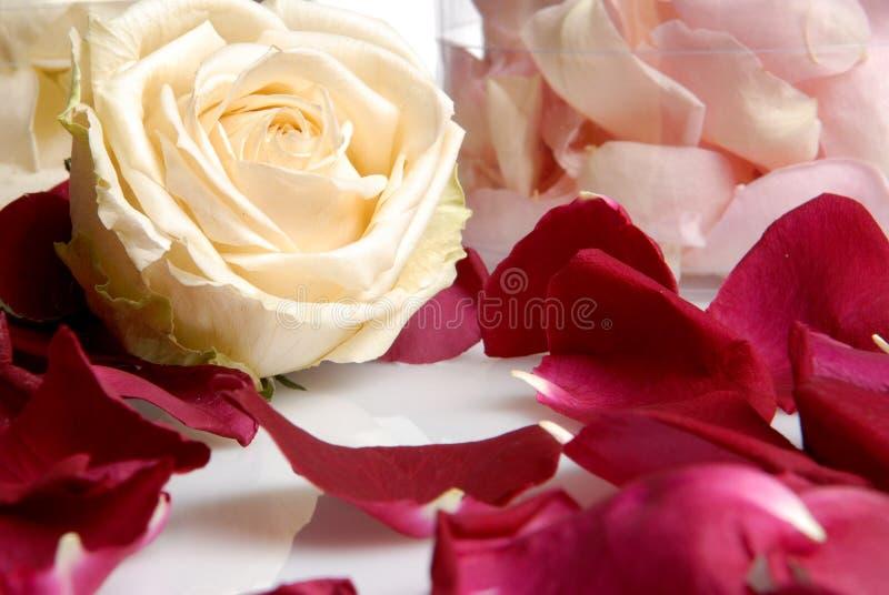 Romantische schöne Blumen der rosa und weißen Rosen stockfotografie