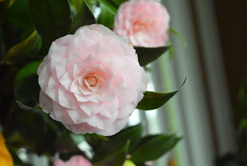 Romantische und perfekte Blume der weichen rosa Kamelie stockfotos