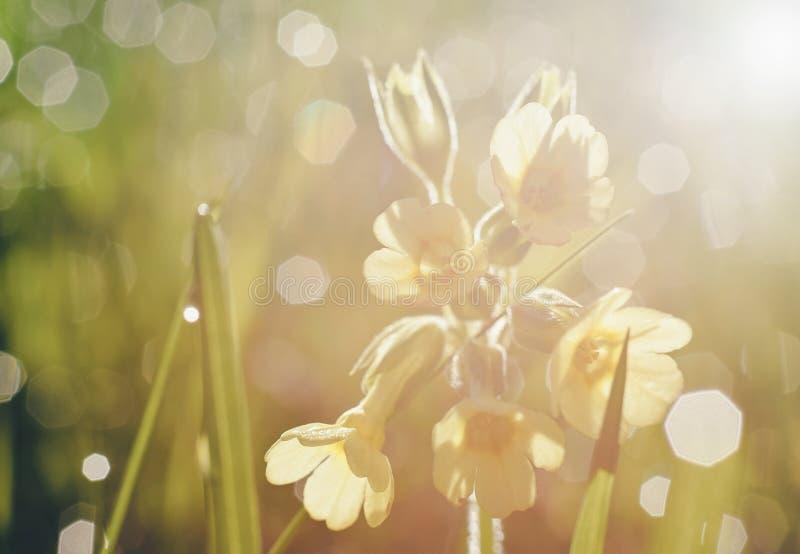 Romantische vage de lentebloemen, sleutelbloem, dauw en ochtendlicht stock foto