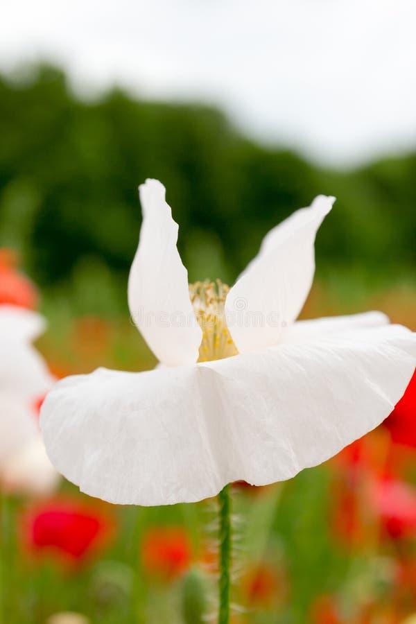 Romantische weiße Blume in der Blüte vor roten Mohnblumen stockfoto