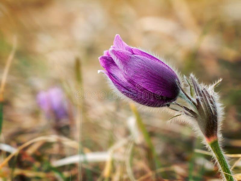 Romantischer Pasque Flower lizenzfreie stockfotos