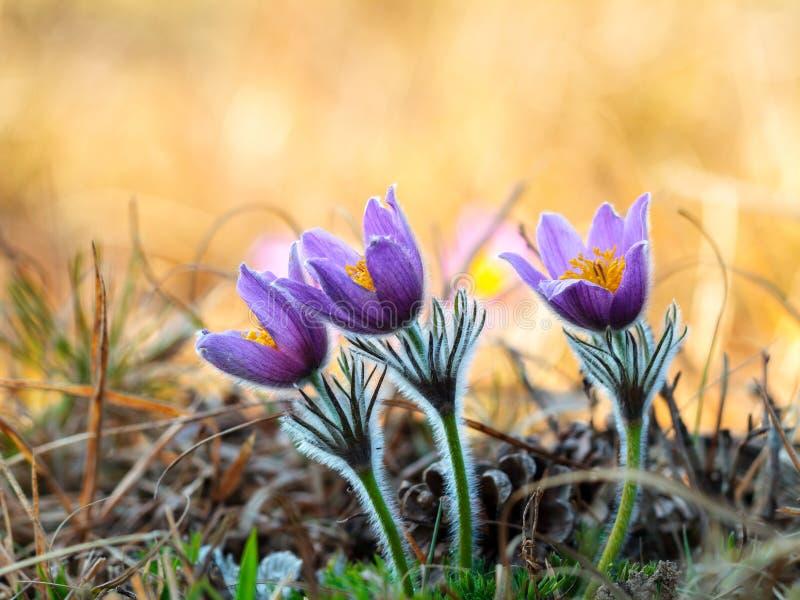 Romantischer Pasque Flower lizenzfreies stockfoto