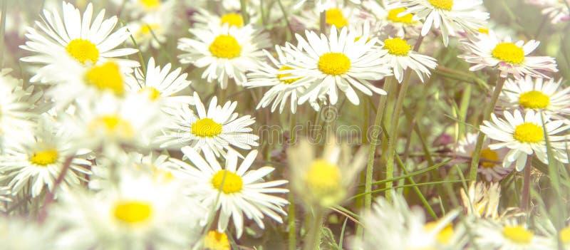 Romantisches wildes Feld von G?nsebl?mchen mit Fokus auf einer Blume Ochsenaugegänseblümchen, Leucanthemum vulgare, Gänseblümchen lizenzfreie stockfotografie