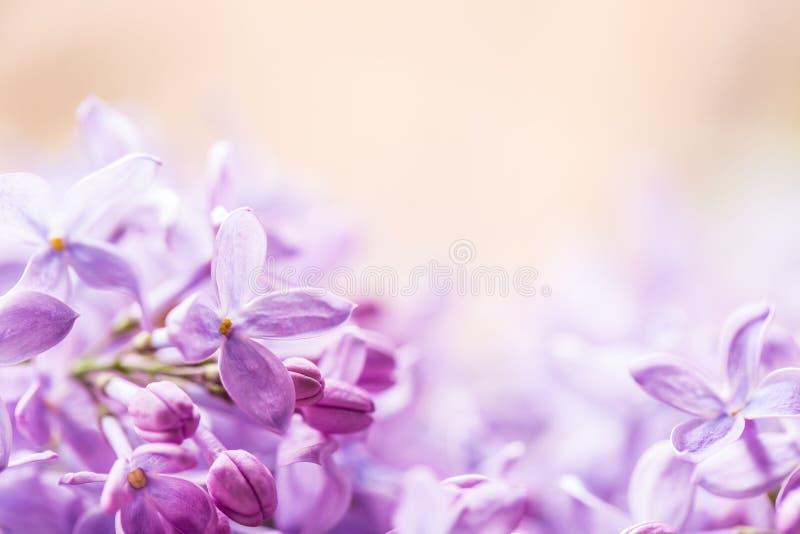 Romantisk blom- bakgrund med purpurfärgade eller violetta lila blommor royaltyfri foto