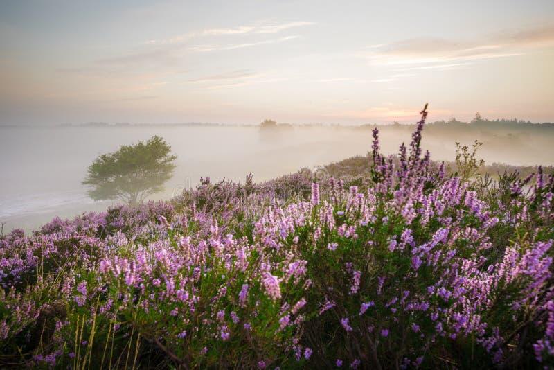 Romantisk soluppgång i en holländsk naturhedland fotografering för bildbyråer
