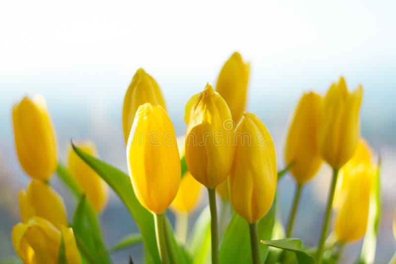 Romantiska blommor för stads- vår försiktiga tulpan Naturvårbakgrund arkivfoto