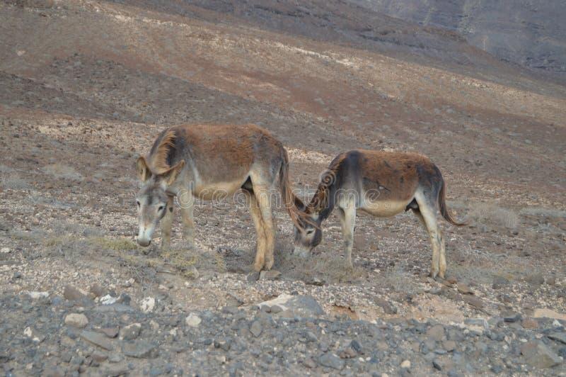 Romantiska par av åsnor som äter i öknen i Punta Jandia Juli 3, 2013 Punta Jandia, Pajara, Fuerteventura, kanariefågelöar royaltyfri foto