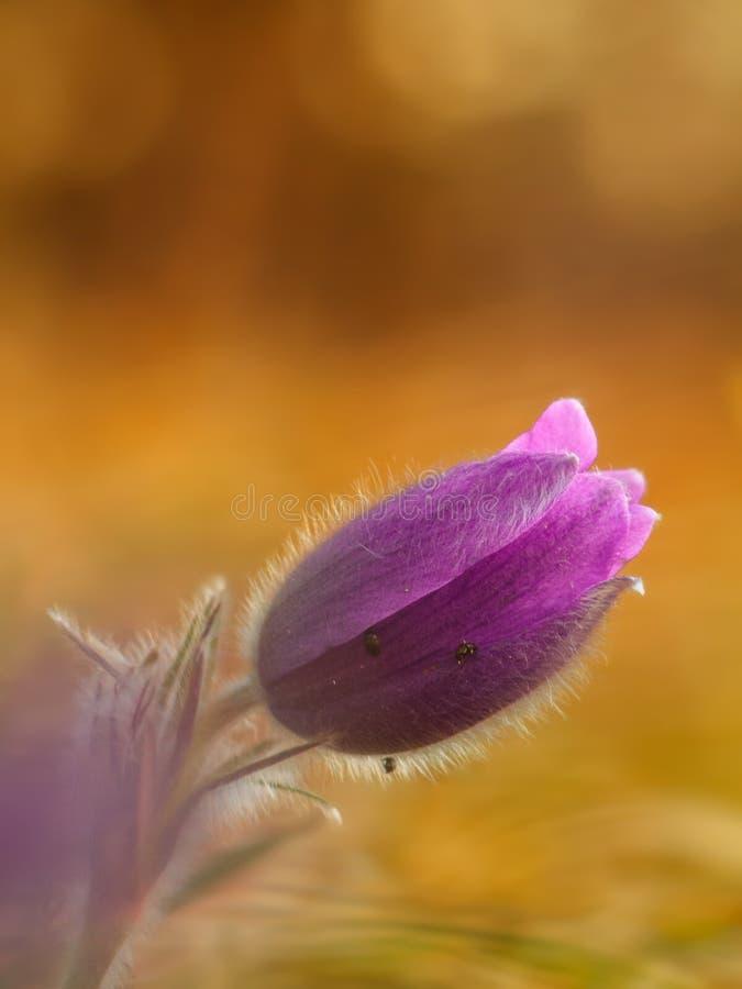 Romantiska Pasque Flower royaltyfria bilder