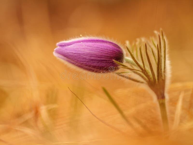 Romantiska Pasque Flower arkivbild